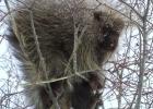 porcupine-dscf5953