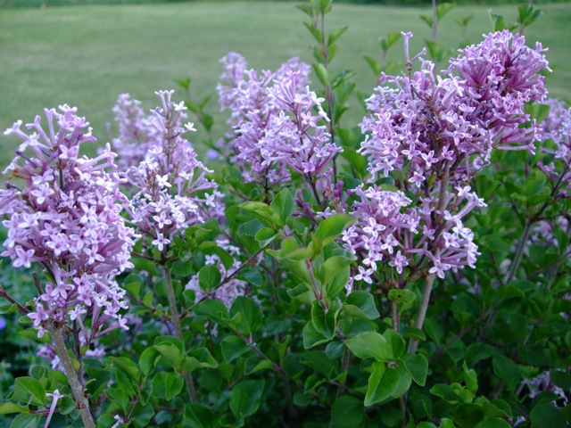 how to tell when lilac is finished blooming
