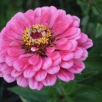 Zinnia beats the frost